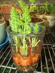 cara menanam wortel dari bagian atas wortel menggunakan air